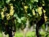 der Bacchus vom Tuniberg, vom Weib, Wein und Wiedehopf,  thomas rees 22